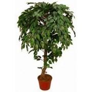 Искусственное дерево Фикус Йорк Штамб (Код товара: 70284) фото