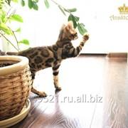Бенгальский кот фото