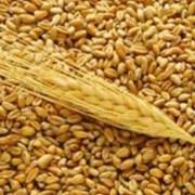 Выращивание зерновых - пшеница фото
