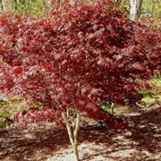 Клены Acer palmatum Trompenburg фото