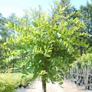Робиния Robinia pseud. Bessoniana обхват ствола 18-20 фото