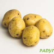 Картофель сорта Каратоп фото