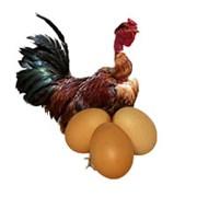 Яйцо куры голошейной инкубационное фото