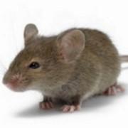 Уничтожение мышей г. Николаев и Николаевская обл. фото