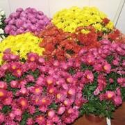Хризантемы в горшках фото