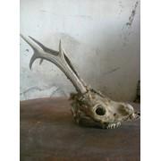 Трофей череп дикой козы с рогами фото