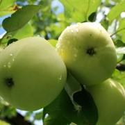 Яблоки свежие зеленые фото