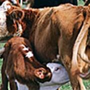 Кормовая добавка 'Витатон' - Биомасса бета-каротина предназначена для использования в кормлении всех видов сельскохозяйственных животных и птицы. фото
