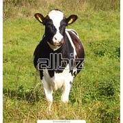 Разведение, убой коров фото