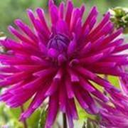 Георгин Пурпур Джем ( Dahlia Purple Gem ). фото