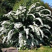 Спирея ниппонская 'Сноумаунд' (Spiraea nipponica 'Snowmound') фото