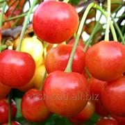 Саженцы черешни Вега (Канада). фото