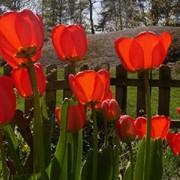 Луковицы тюльпана фото