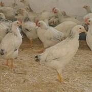 Цыплята Адлерская Серебристая, Кучинская Юбилейная фото