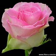 Роза Malibu1 фото