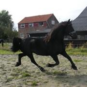 Фризская лошадь 163 см 9 лет фото