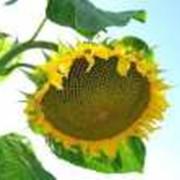 Подсолнечные жаренные семечки фото