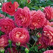Роза Пинк Бланкет (Rosa PINK BLANKET) PBR фото