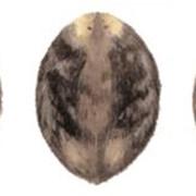 Натуральный мех бобра фото