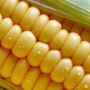 Зерно кукуруза фото
