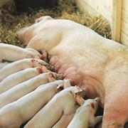 Свиноматки Йоркшир фото