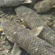 Пеленгас охлажденный. Рыба охлаждённая фото