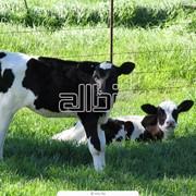 Оказываем услуги по осеменению крупного рогатого скота, в Украине фото
