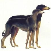 Собаки короткошёрстные борзые фото