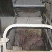 Инфракрасные нагреватели для свинарников фото