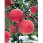 Яблоки осенние продажа опт фото
