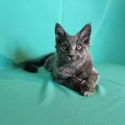 Продам котенка мейн-куна фото