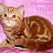 Британский котик красный мрамор фото