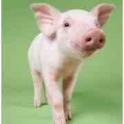 Соевый белок HP 310 без ГМО для кормления животных фото