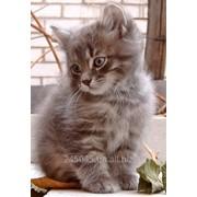 Полу-сибирский котенок фото