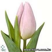 Тюльпан Candy Prince фото