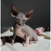 Донские сфинксы-котята различных окрасов фото
