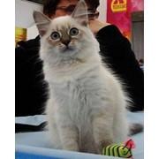 Невский маскарадный котенок фото