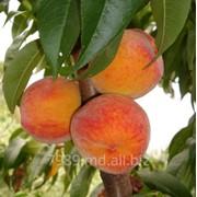Персики Валиант в Молдове фото