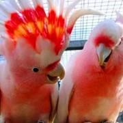 Ручные птенцы Какаду фото
