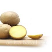Картофель семенной Колетте 2 репродукции фото