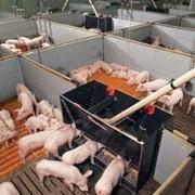 Системы кормления свиней фото