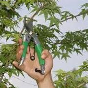 Обрезка и прореживание крон деревьев фото
