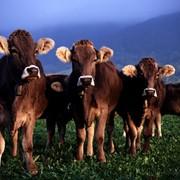 Куплю Крс, бычки, телята, молодняк.Срочно купим. фото