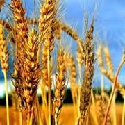 Торгово-закупочная деятельность, зерновые культуры фото