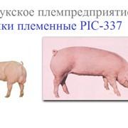 Разведение свиней. Сперма хряков Хряки племенные породы PIC-337. фото