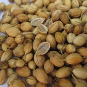 Зерна кориандра фото