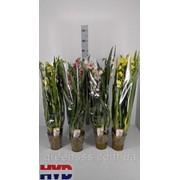 Орхидея Цимбидиум микс -- Cymbidium mixed фото