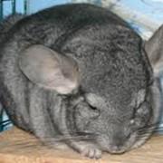 Шиншиллы, детеныши от 3 месяцев фото