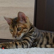 Шикарный молодой котик породы тойгер фото