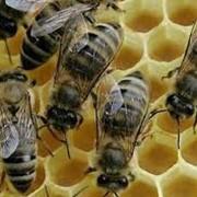 Вощина, Продукция пчеловодства фото